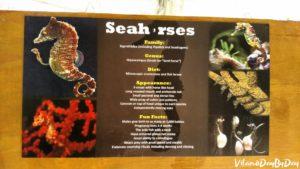 St Augustine Aquarium Seahorses